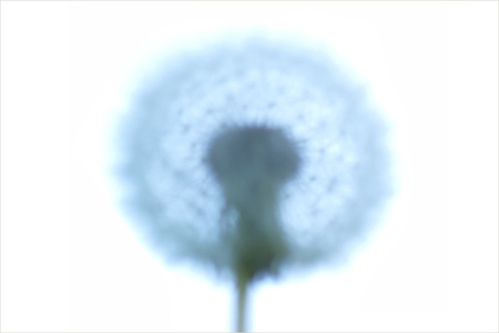Dandelion for 2017 website.jpg